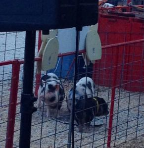 We even got to see some little baby pigs race!!